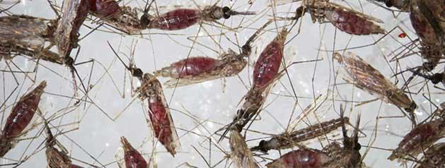 L'Institut Pasteur participe à une conférence internationale sur la recherche sur les moustiques et le contrôle vectoriel